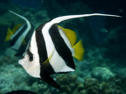 Heniochus diphreutes	- False moorish idol, Автор - Andrey Ryanskiy