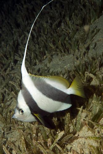 Heniochus diphreutes	- False moorish idol, Автор - Andrey Ryanskiy, Рейтинг - 3.3